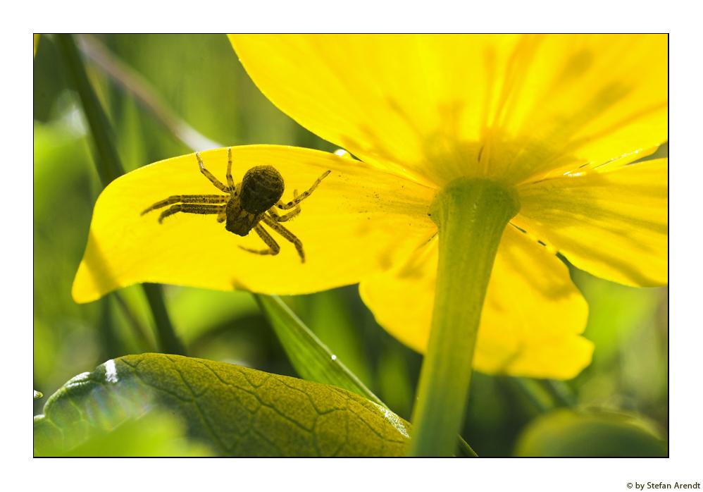Spinnengetier