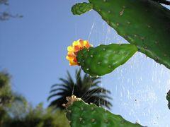 Spinnenkaktus