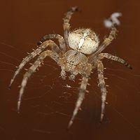 Spinnenknipser