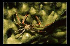 Spinnenkrabe
