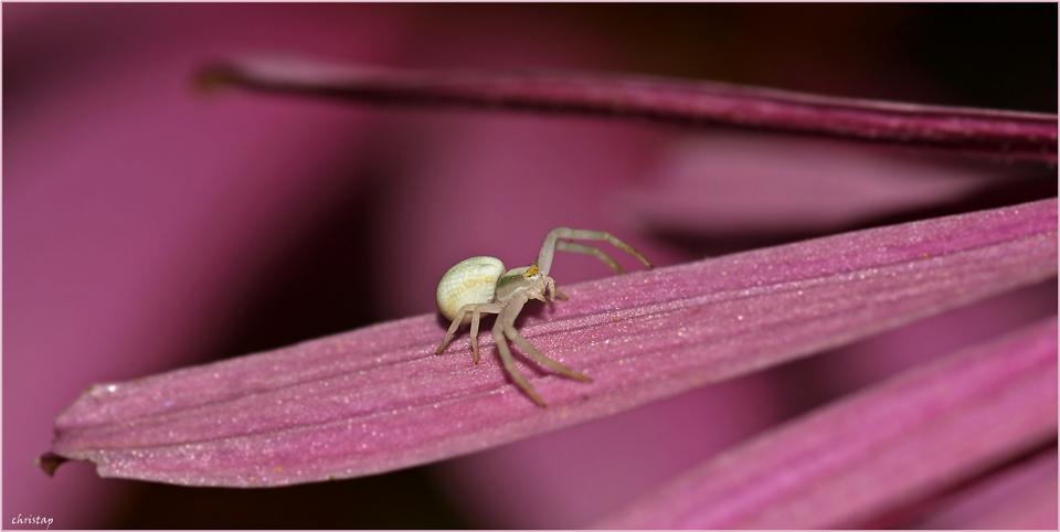 Spinnenmädchen ...