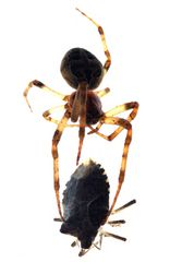 Spinnenmahlzeit