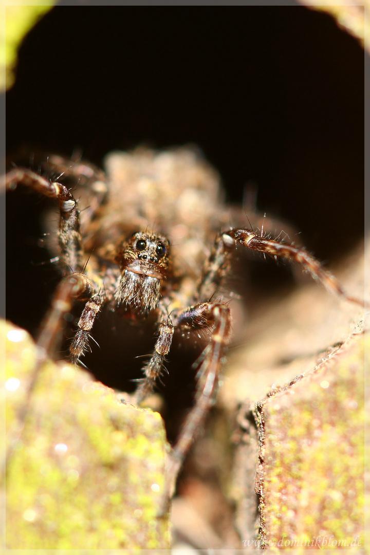Spinnenmakro Wolfsspinne