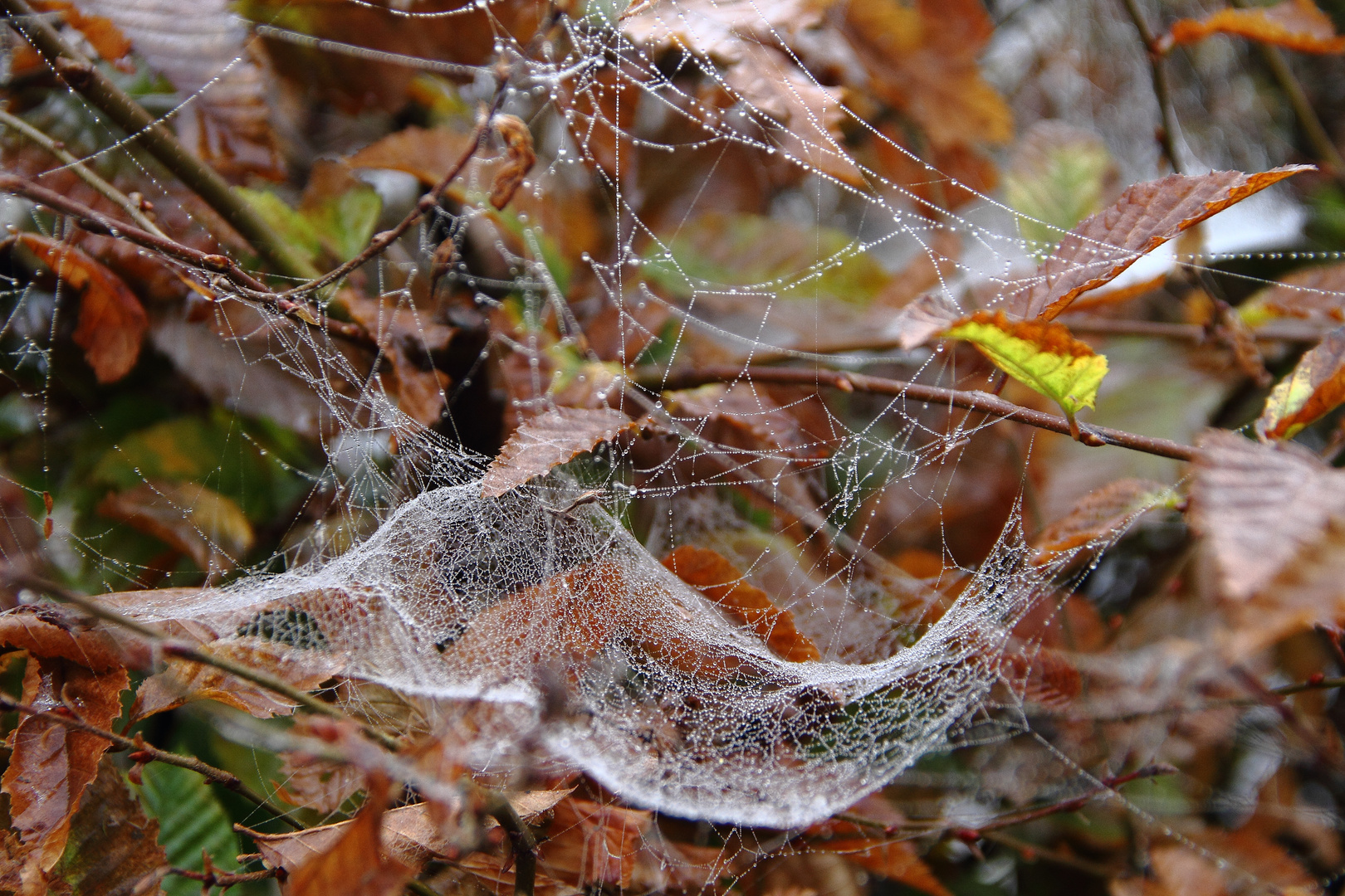 Spinnennetz im Herbst, taubenetzt