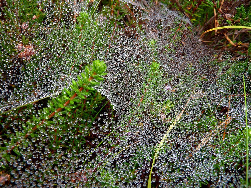 Spinnennetz mit Morgentau 2