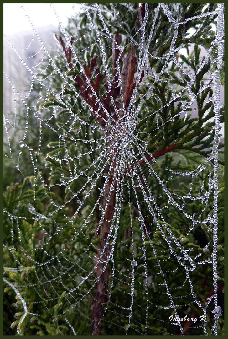 Spinnennetz mit Perlen an meiner Hecke