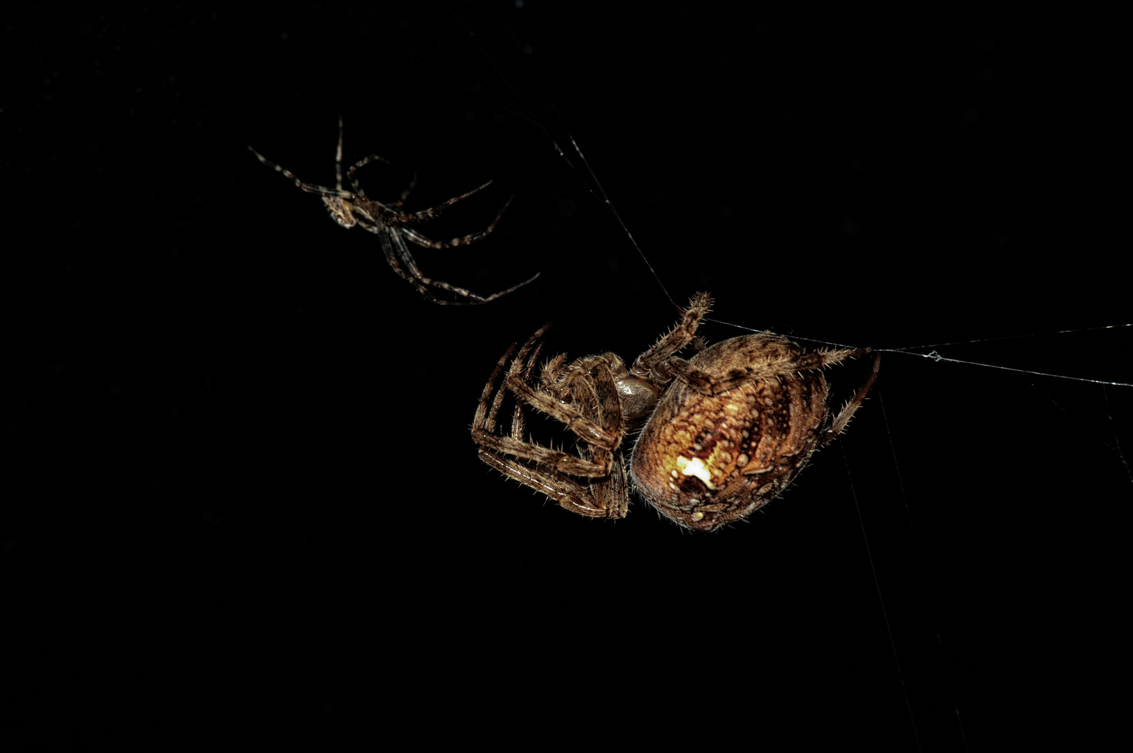 Spinnenpaar