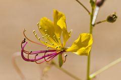 Spinnenpflanze (Cleome angustifolia)