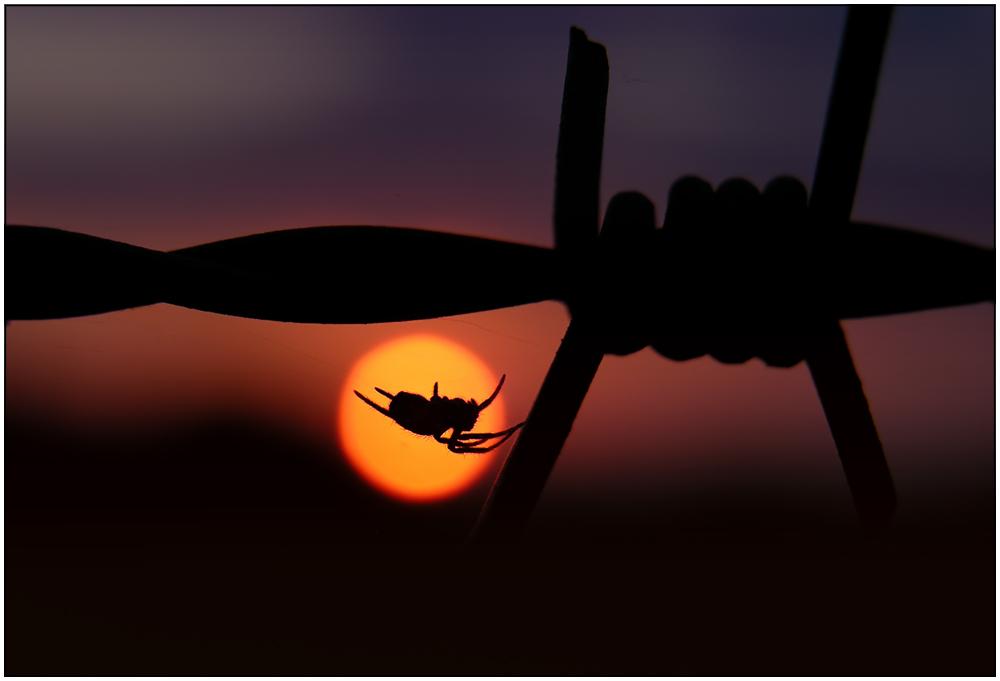 Spinnenuntergang trotz Beagle