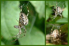 Spinnenvariation