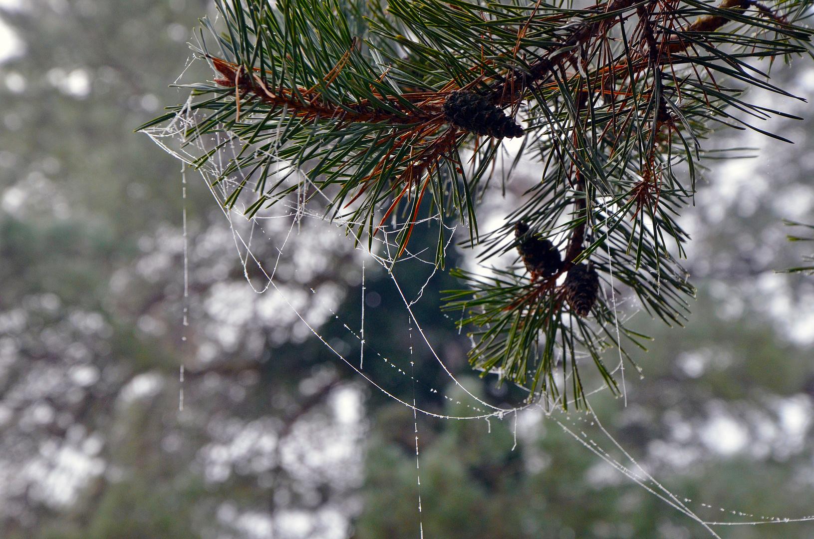 Spinnenweben im Winter