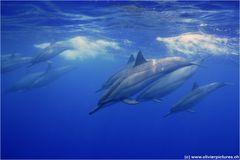 Spinner-Delfine