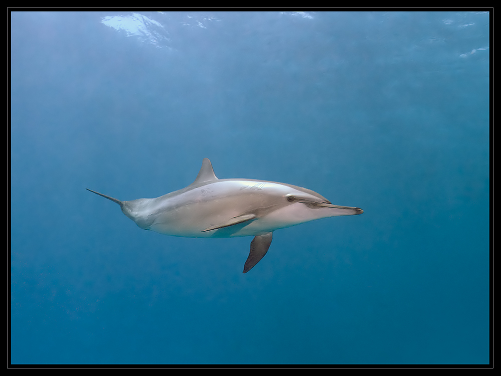 Spinner Delphin