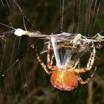 Spinnfäden