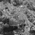 Spinnwebenkächer