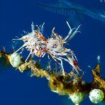 spiny tiger shrimp