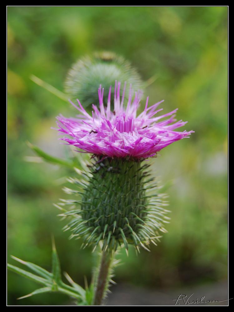 spiny wildflower