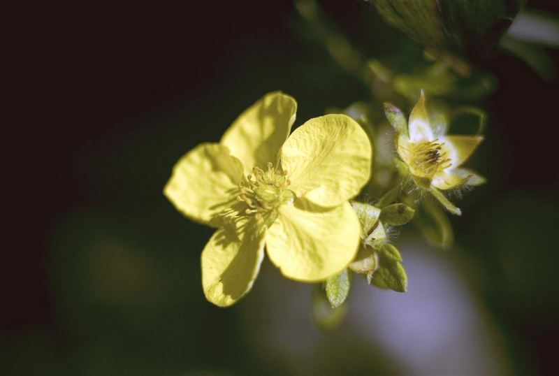 "Spiraea japonica ""Golden Princess"""