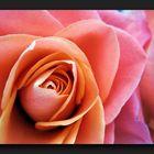 Spirituel rose