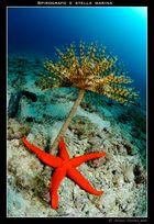 Spirografo e stella marina