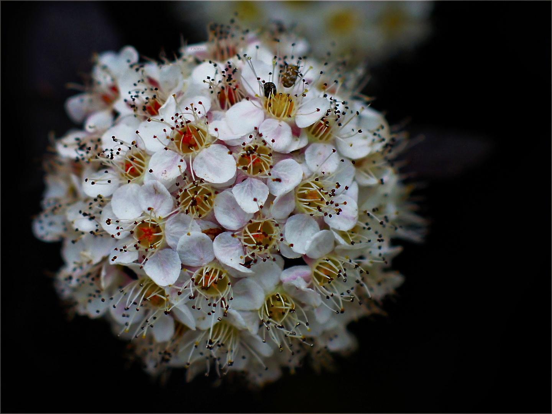 Spitaea Bloom
