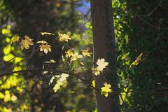 Spitzahorn-Herbst
