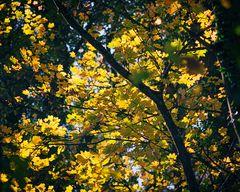 Spitzahorn-Herbst II