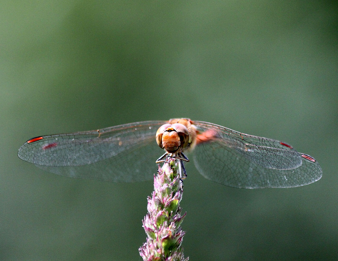 Spitzen-Libelle