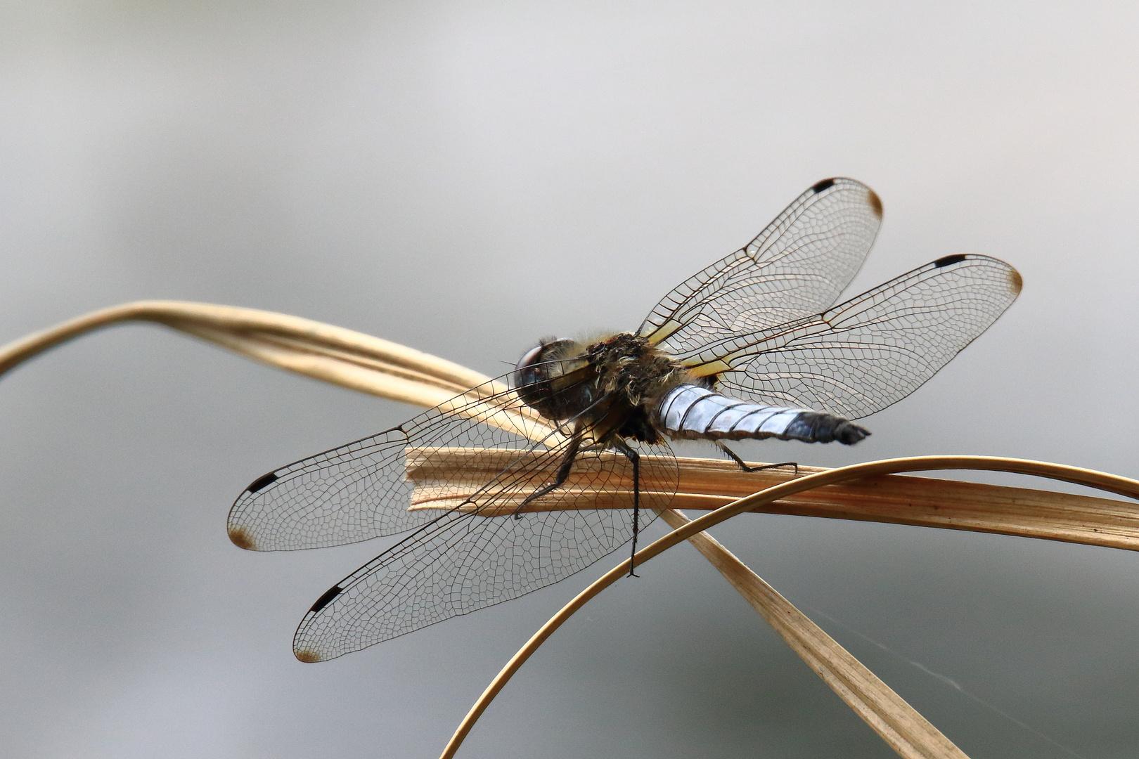 Spitzenfleck-Libelle