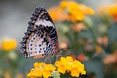 Spitzenflügel / Leopardennetzflügler