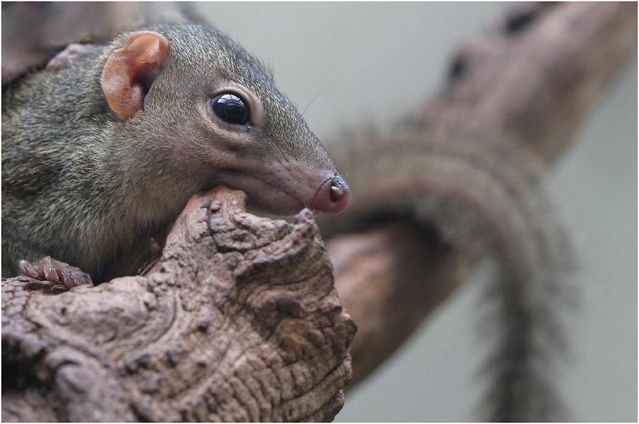 Spitzhörnchen