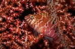 Spitzkopf-Korallenwächter