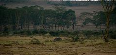Spitzmaul-Nashorn, Kenia