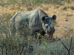 Spitzmaulnashorn (Black Rhino)
