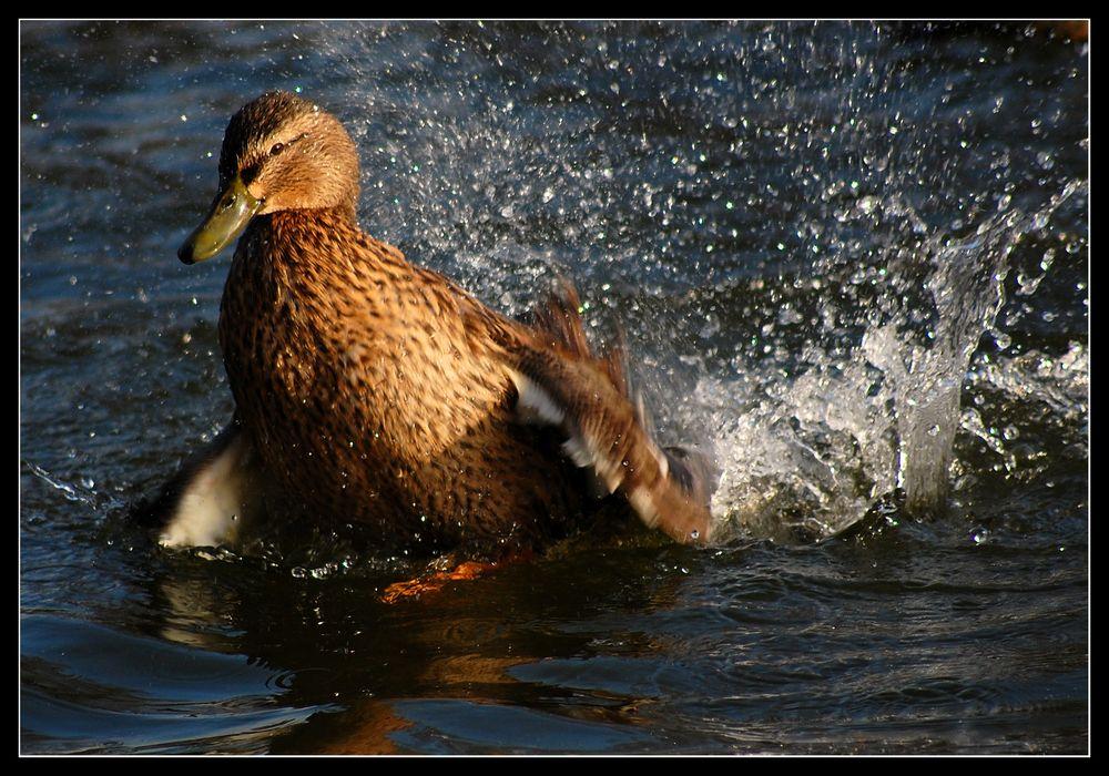 Splish Splash *