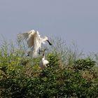 spoonbill on nest