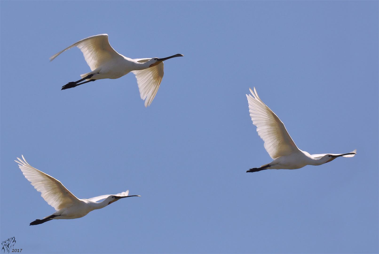 Spoonbills in flight ..