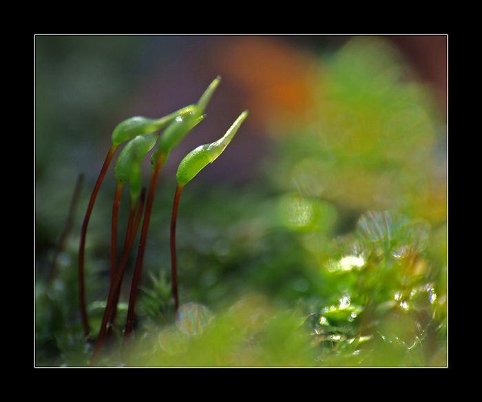 Sporangiums