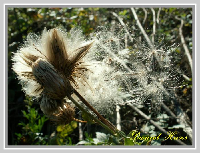 spores s'envolant au gré du vent
