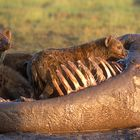 Spotted Hyenas Eating a Hippopotamus Carcass in Kenya, East Africa