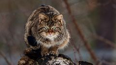 SPOTTING WILDCAT AT TOWER OF OBSERVATION (2)