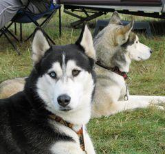 Spreewald- Huskies