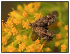 Spreizflügelfalter (Anthophila fabriciana)
