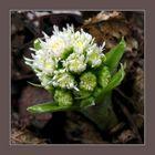 Spring is here - butterbur