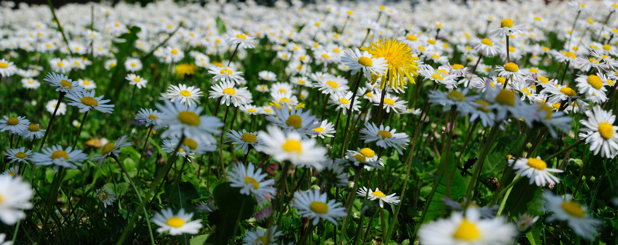 spring meadow pano...