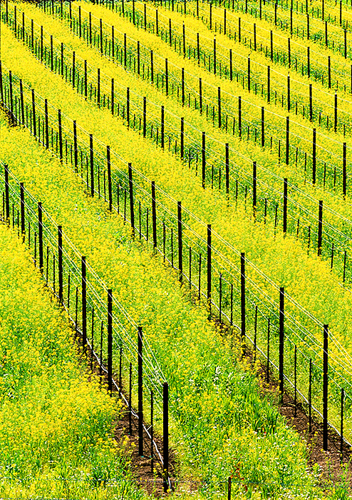Spring Mustard Blossoms in a Vineyard