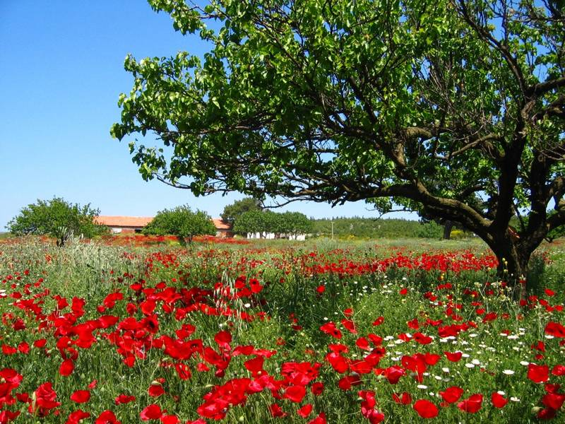 Spring of poppies