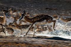 Springbok auf der Flucht