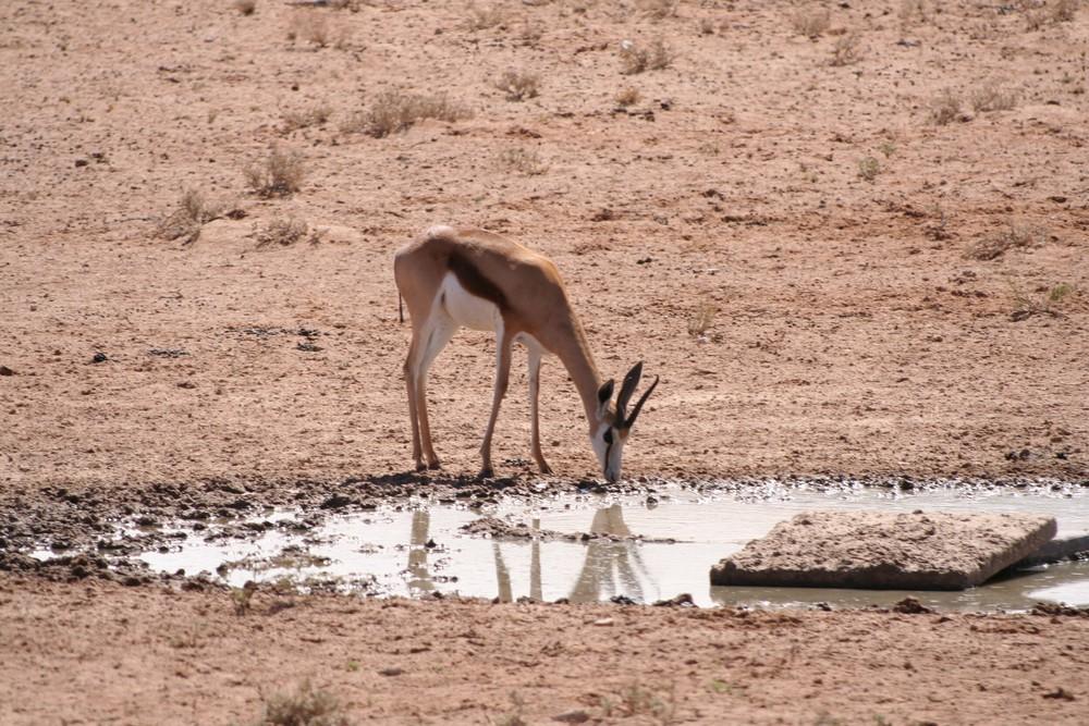 * springbok, watering *