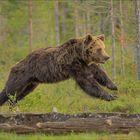 Springender Bär